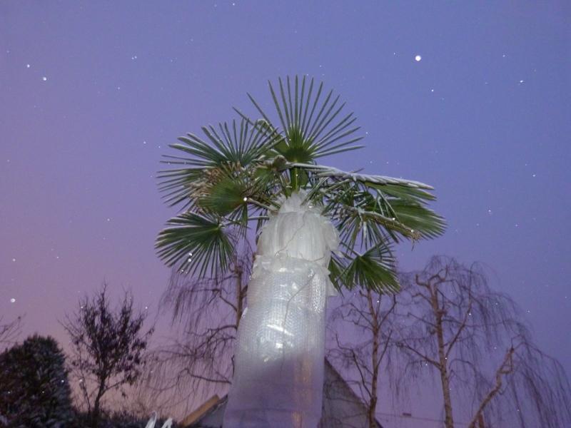 Protection Hivernale Du Trachycarpus Fortunei En Zone 7