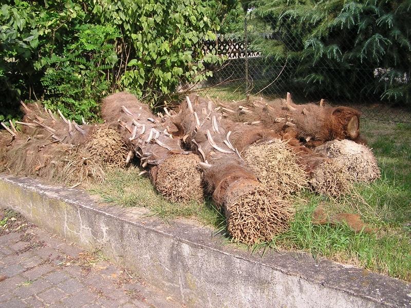 Protection hivernale du trachycarpus fortunei en zone 7 palmiers en alsace - Racine d un palmier ...